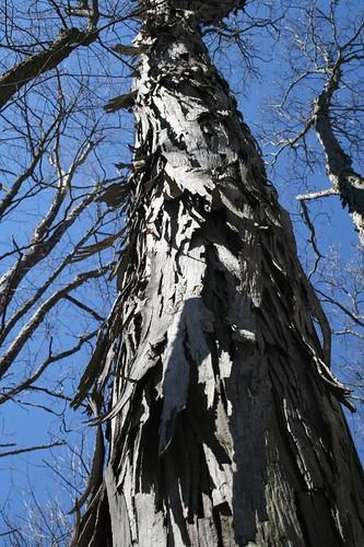 Hickory, Carya ovata, Bernheim Arboretum and Forest