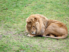 outdoor recreation(0.0), animal(1.0), mane(1.0), big cats(1.0), masai lion(1.0), lion(1.0), grass(1.0), mammal(1.0), fauna(1.0), safari(1.0), wildlife(1.0),