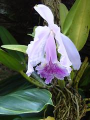 cattleya trianae(0.0), cattleya labiata(1.0), flower(1.0), plant(1.0), laelia(1.0), flora(1.0),