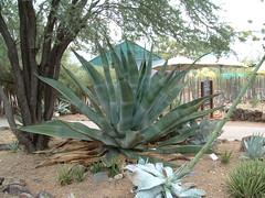 Desert Botanical Garden 7