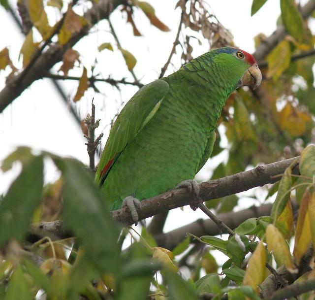 Loro Tamaulipeco (Amazona viridigenalis)