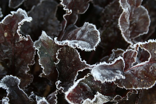 Frosted Beetroot