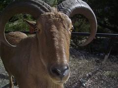 texas longhorn(0.0), sheeps(0.0), sheep(0.0), ox(0.0), wildlife(0.0), cattle-like mammal(1.0), animal(1.0), mammal(1.0), horn(1.0), barbary sheep(1.0), goats(1.0), fauna(1.0), cattle(1.0),