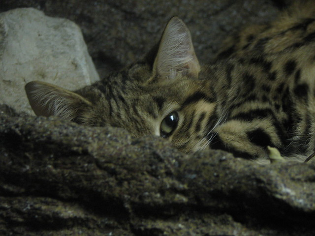 Black Footed Cat Flickr Photo Sharing