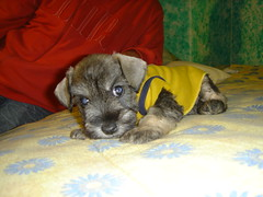 animal, puppy, dog, schnoodle, pet, schnauzer, border terrier, miniature schnauzer, carnivoran, terrier,