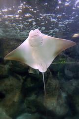 animal(1.0), stingray(1.0), fish(1.0), marine biology(1.0), skate(1.0), underwater(1.0), cartilaginous fish(1.0),