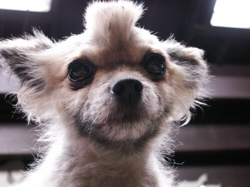 Doan Chung-Hernandez :: Lil Kola Bud :: The Cutest Dog in ...
