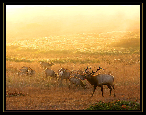 Tule Elk, back from the brink of extinction