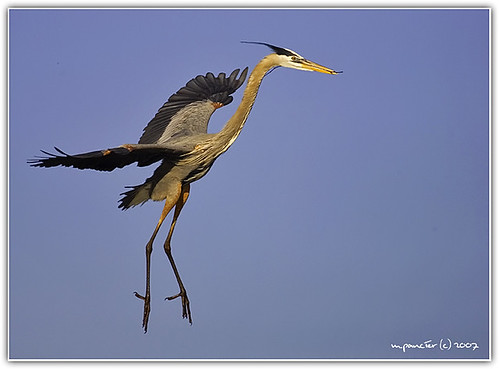 Great Blue Heron Coming Into the Nest