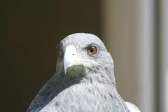 Chiliean Blue Eagle