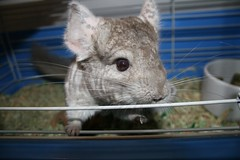 animal, rodent, pet, fauna, whiskers, chinchilla, gerbil,