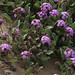Small photo of Beach Sand Verbena, Abronia umbellata