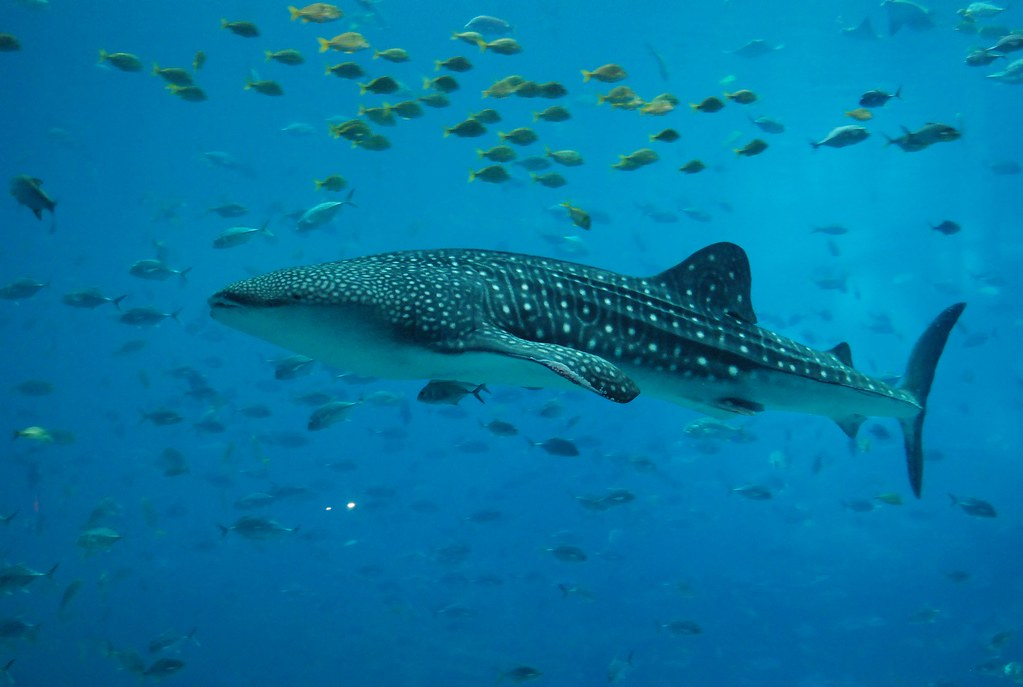 largest whale shark - photo #28