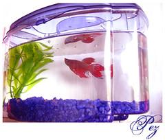 Betta fish enemies malibu pet care for Do betta fish need a heater