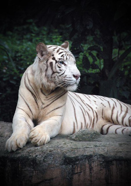 White Tiger | Flickr - Photo Sharing!