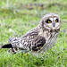 Short-eared Owl - Photo (c) Rick Leche, some rights reserved (CC BY-NC-ND)