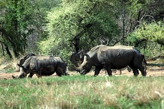 animal, grazing, rhinoceros, fauna, jungle, savanna, safari, wildlife,