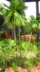 date palm(0.0), borassus flabellifer(0.0), rainforest(0.0), flower(0.0), resort(0.0), elaeis(0.0), jungle(0.0), arecales(1.0), botanical garden(1.0), garden(1.0), tree(1.0), plant(1.0), produce(1.0), landscaping(1.0),