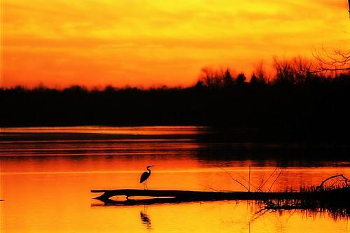 trees sunset sky orange sun sunlight bird heron water clouds reflections evening twilight december dusk 10 5 kentucky waterbird lexingtonky richmondroad waterfowl greatblueheron lateafternoon earlyevening fayettecounty 10faves centralkentucky ellserlielake orangecomune onlythebestare jasonpresser