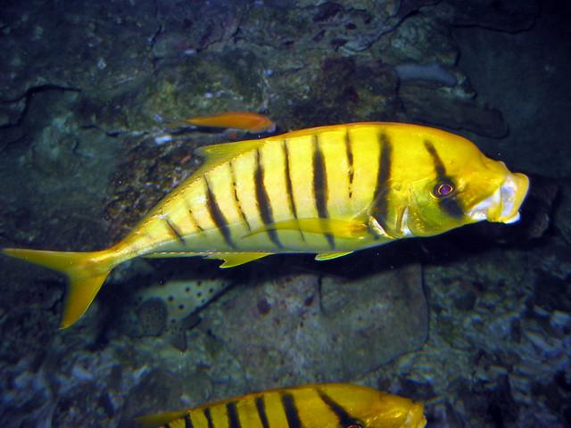 Yellow black striped freshwater fish