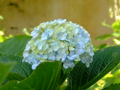 flower(1.0), hydrangea serrata(1.0), flora(1.0),