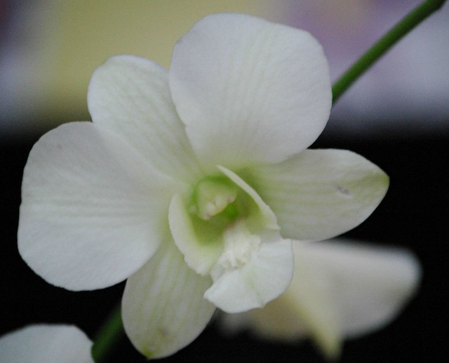 Emma White Dendrobium orchid | Flickr - Photo Sharing!