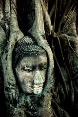 The Buddha Head in Tree