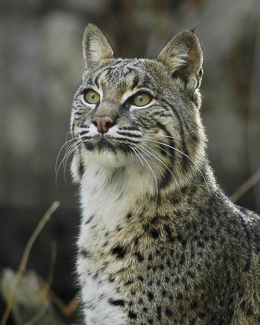 Show Me A Picture Of A Bobcat >> Best of 'Lynxes and Bobcats' - a gallery on Flickr