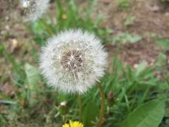 grass(0.0), thistle(0.0), silybum(0.0), dandelion(1.0), flower(1.0), plant(1.0), wildflower(1.0), flora(1.0), plant stem(1.0),