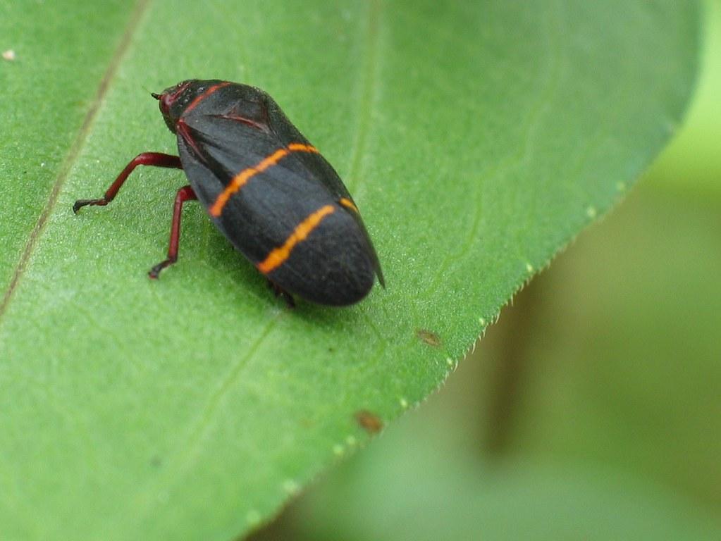 unknown black leaf bug with orange stripes a photo on flickriver. Black Bedroom Furniture Sets. Home Design Ideas