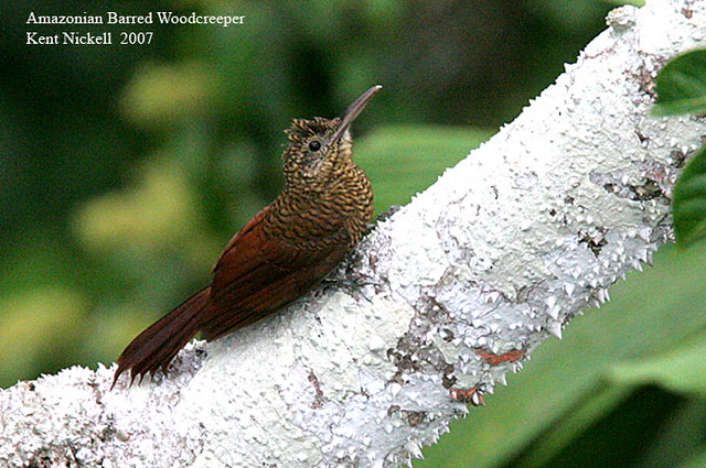 Header of Amazonian Barred Woodcreeper