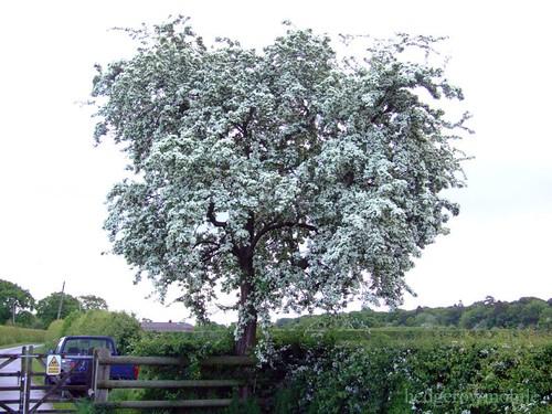Hawthorn blossum DSCF0995