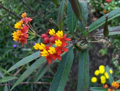 evergreen(0.0), macro photography(0.0), lantana camara(0.0), tropical milkweed(1.0), shrub(1.0), flower(1.0), yellow(1.0), plant(1.0), wildflower(1.0), flora(1.0), produce(1.0),