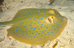 coral reef fish(0.0), pomacanthidae(0.0), animal(1.0), fish(1.0), yellow(1.0), marine biology(1.0), fauna(1.0), skate(1.0), underwater(1.0),