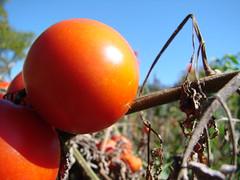Solanaceae: potatoes, tomatoes, etc.