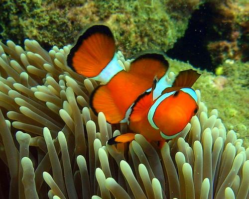 Clownfish - Koh Ngai, Thailand