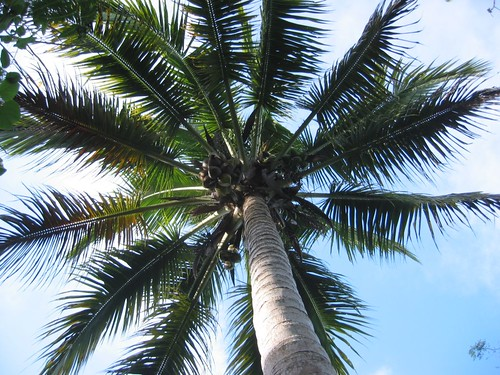 Coconut Tree by kahunapulej