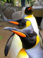 animal, yellow, penguin, flightless bird, fauna, king penguin, beak, bird, wildlife,