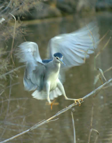 martinete en vuelo - night heron in flight - martinet de nit volant 4