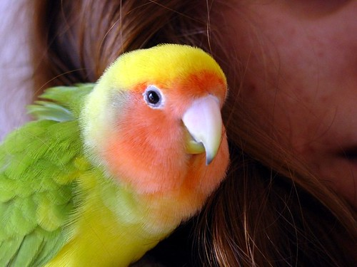 me_gusta tu cabello - Rita - Agapornis roseicollis - lovebirds