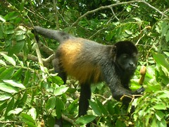 tufted capuchin(0.0), capuchin monkey(0.0), great ape(0.0), white-headed capuchin(0.0), macaque(0.0), ape(0.0), animal(1.0), rainforest(1.0), monkey(1.0), mammal(1.0), fauna(1.0), spider monkey(1.0), old world monkey(1.0), new world monkey(1.0), jungle(1.0), wildlife(1.0),
