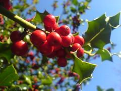 blossom(0.0), evergreen(0.0), acerola(0.0), flower(0.0), tree(0.0), rowan(0.0), hawthorn(0.0), autumn(0.0), shrub(1.0), berry(1.0), branch(1.0), leaf(1.0), plant(1.0), macro photography(1.0), flora(1.0), produce(1.0), fruit(1.0), food(1.0), aquifoliaceae(1.0), aquifoliales(1.0),