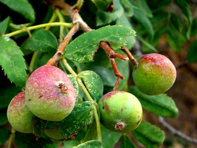 Frutos del sorbus domestica (serbal)