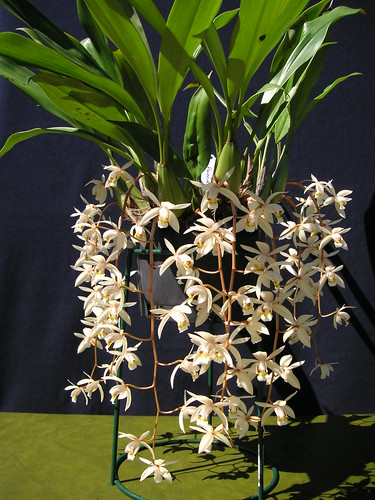 how to grow coelogyne flaccida