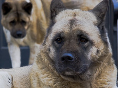 dog breed, animal, dog, eurasier, mammal, norwegian elkhound,