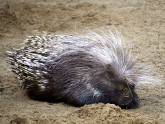 animal, porcupine, rodent, fauna, wildlife,