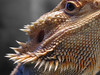 "<a href=""http://www.flickr.com/photos/scottkinmartin/421683496/"">Photo of Pogona vitticeps by Scott Kinmartin</a>"