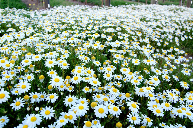 field of daisies flickr photo sharing