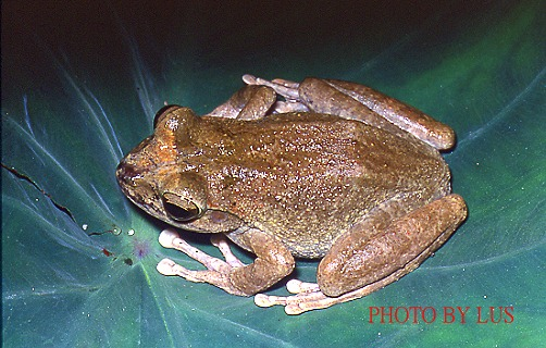 B404褐樹蛙