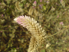 Celosia argentea var. spicata